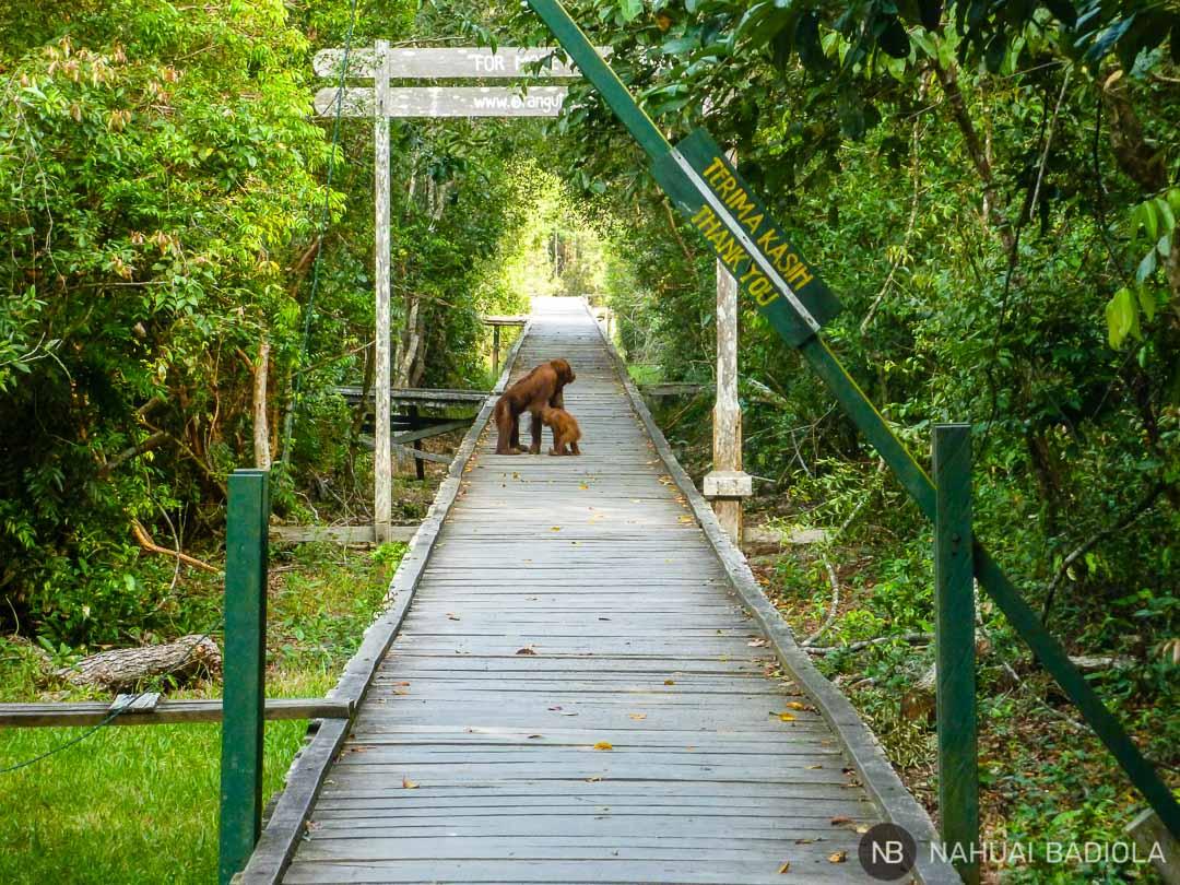 Orangutanes en la pasarela de entrada al campamento Leakey, Borneo.