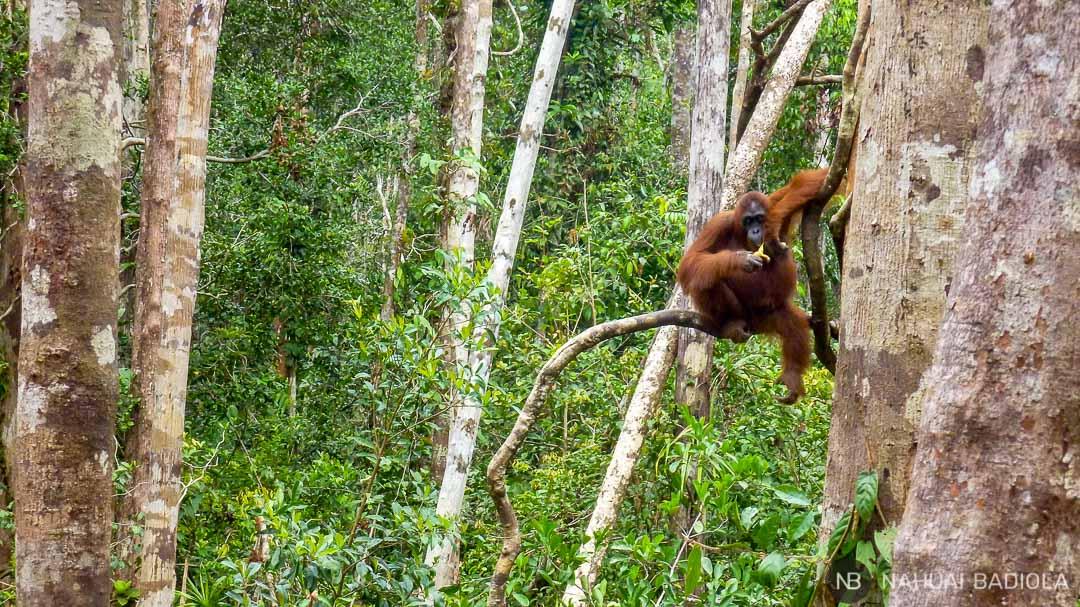 Un orangután adulto posando en un árbol en el campamento Leakey, Indonesia.