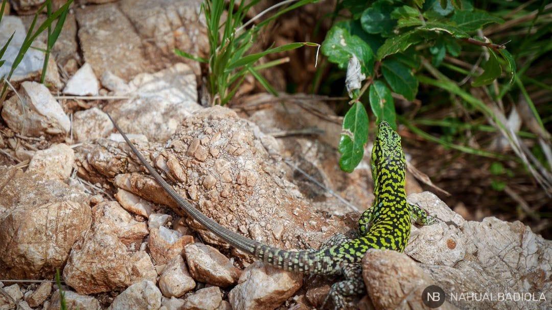 Lagartija verde en la reserva del Zingaro, Sicilia.