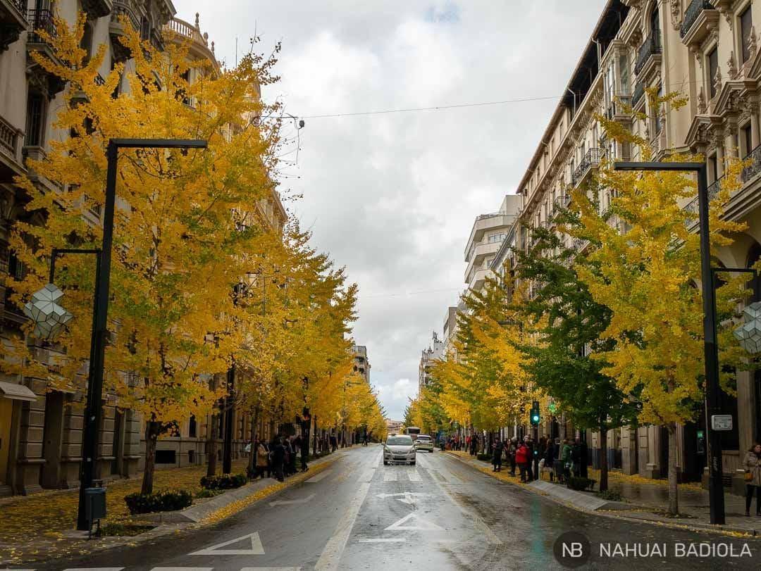 La Gran Vía de Granada teñida de amarillo por los Gingko Biloba en otoño