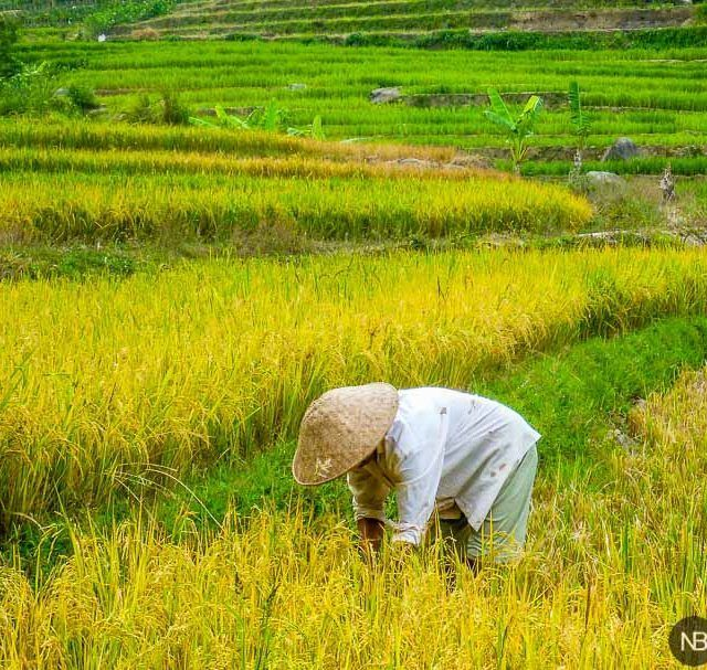Rice fied worker in Indonesia