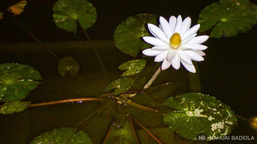 Flor de loto blanca abierta durante la noche en el monasterio Mendut, Java.