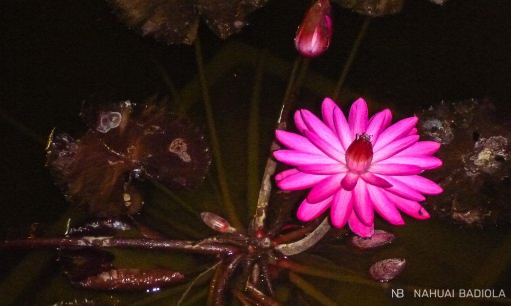 Flor de loto rosa abierta durante la noche en el monasterio Mendut, Java.