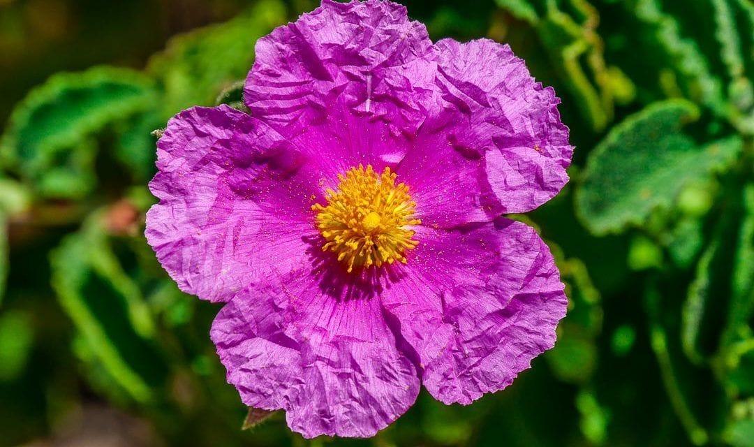 Flor arrugada en el sendero alrededor de Monte Cofano
