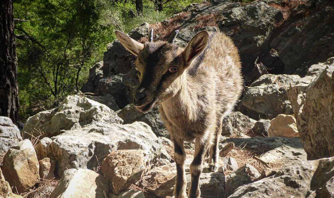 Cabra kri kri protegida en el cañón Samaria