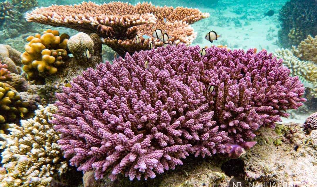 Arrecife de coral rosa en Derawan