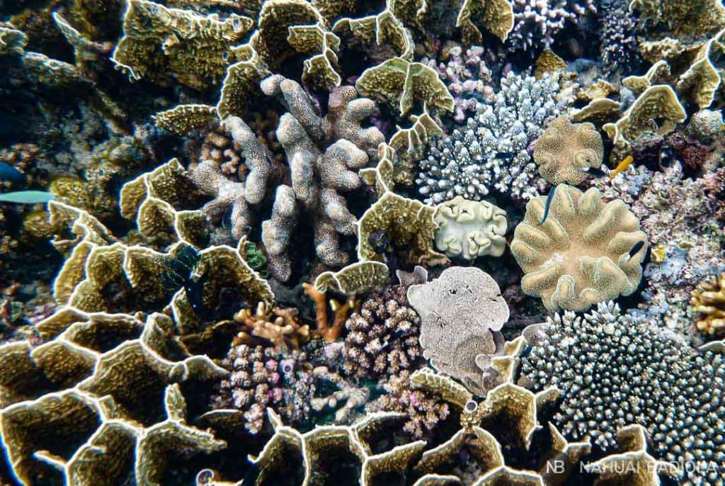 Variedad de corales frente a las costas de Derawan, Borneo