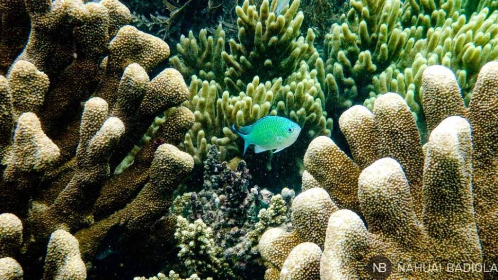 Pez de arrecife en las aguas de Borneo