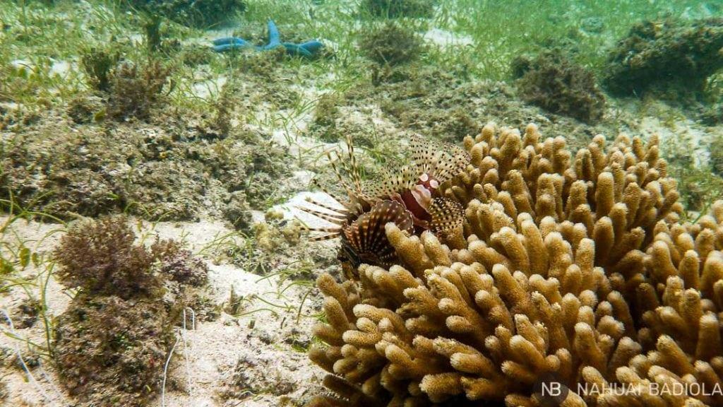 Pez León haciendo snorkel en Pulau Derawan