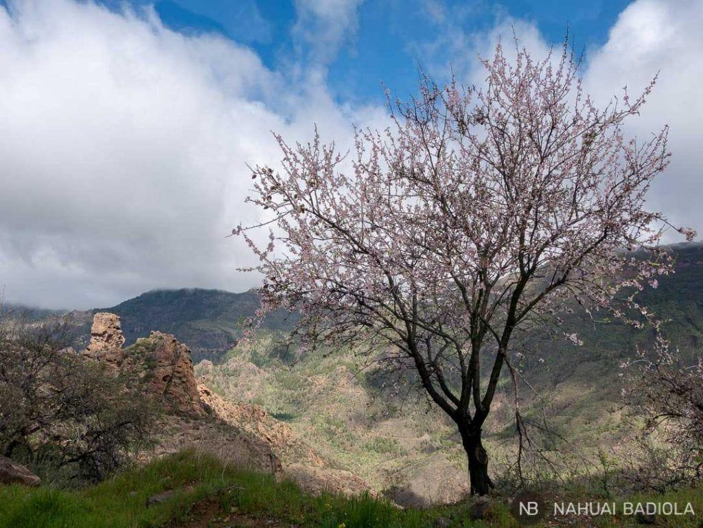 Almendro en flor en la ruta a las cuevas del Rey, Gran Canaria