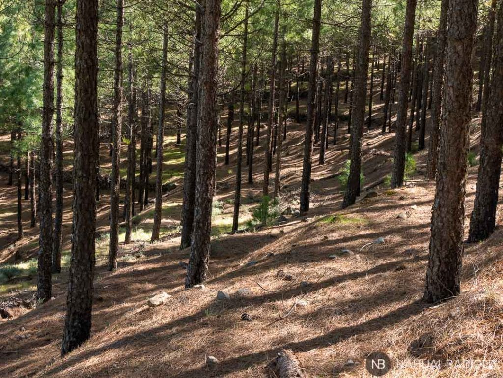 Bosque de pinos de camino a la cueva de los Candiles, Artenara.