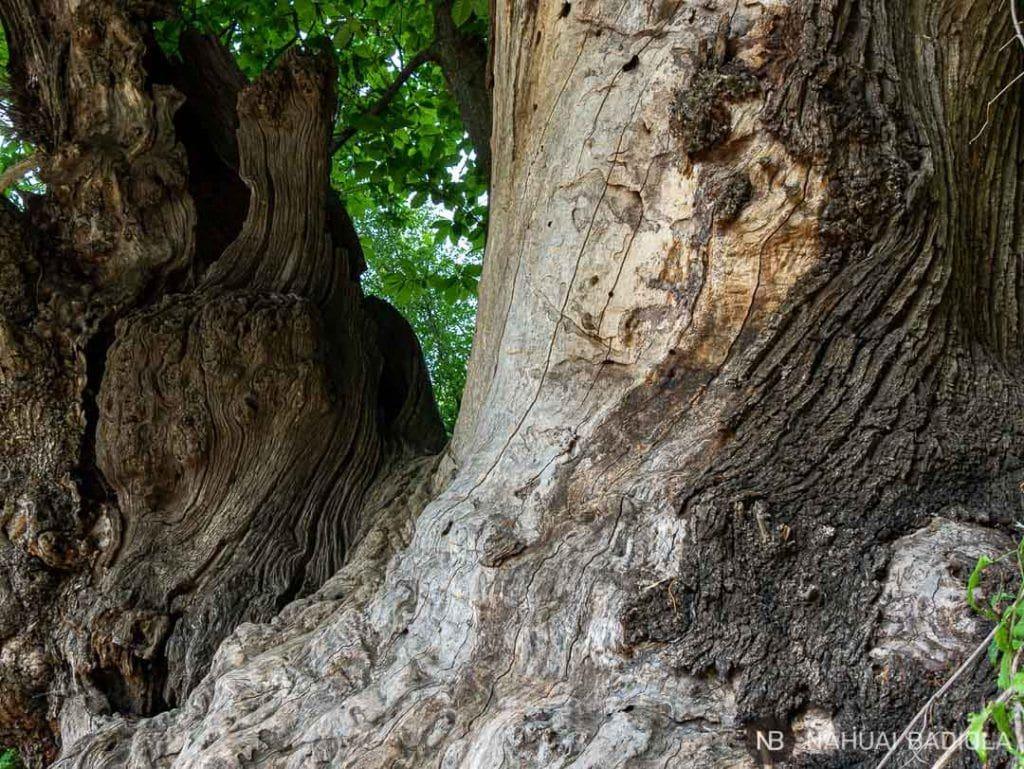 Corteza de árbol Garrotxa