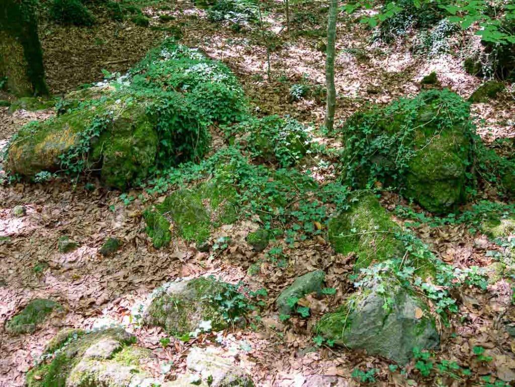 Detalle de hiedra salvaje en la Fageda del parque natural de la zona volcánica de la Garrotxa
