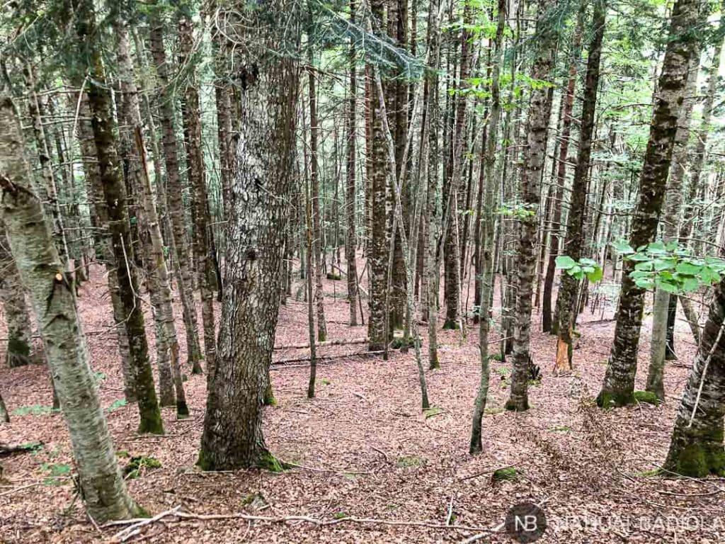 Bosque de pinos sendero circular Selva de Oza